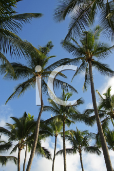 Royalty Free Photo of a Coconut Palm Trees and Blue, Sunny Sky
