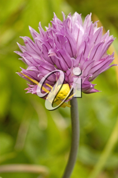 Royalty Free Photo of a Spider on a Flower