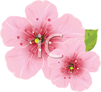 Royalty Free Clipart Image of Cherry Blossom Flowers