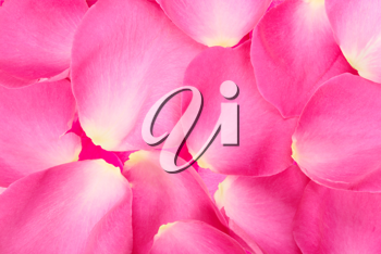 Abstract background of pink rose petals. Close-up. Studio photography.