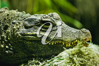 Beautiful closeup photo of big green crocodile
