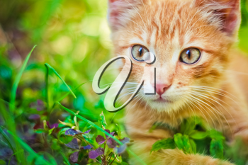 Young Kitten In Grass Outdoor Shot At Sunny Day
